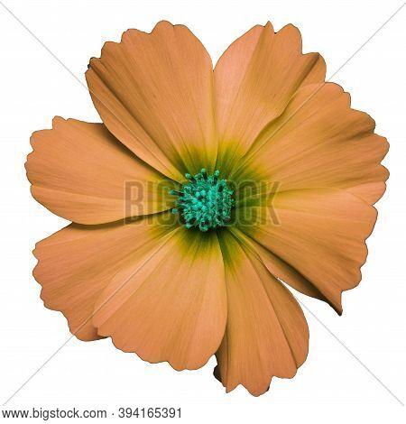 orange flower of cosmea bipinnatus, Cosmos bipinnatus, isolated on a white background