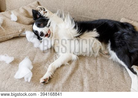 Naughty Playful Puppy Dog Border Collie After Mischief Biting Pillow Lying On Couch At Home. Guilty