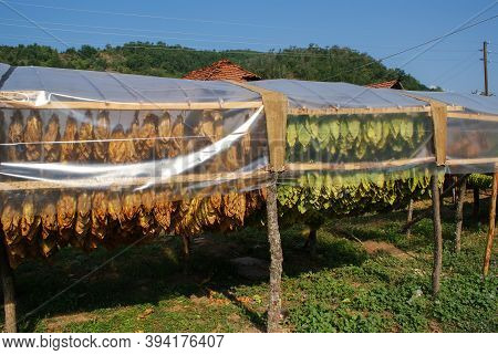 Traditional Way Of Tobacco Drying In Tent, Rural Area, Near The House. Traditional Techniques