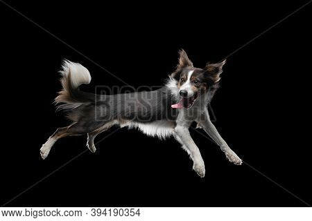 Crazy Dog Jumping Over The Disc. Pet In The Studio On A Black Background. Active Border Collie