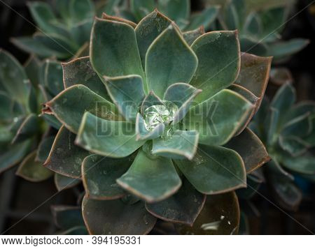 Close Up Of Rain Drop On Mexican Snow Ball (echeveria Elegans). It Is A Species Of Flowering Plant I