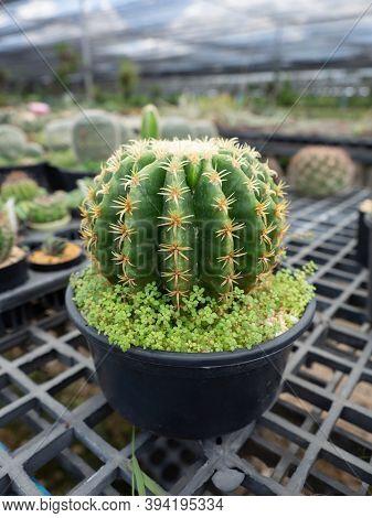 Close-up A Golden Barrel In Garden, Succulent Cactus Ball (echinocactus Grusonii) Growing In Flower