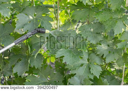 Protecting Grape Bushes From Fungal Disease Or Vermin With Pressure Sprayer,