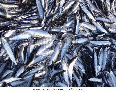 vendace fishing