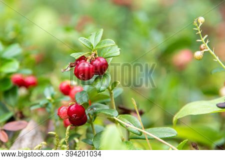 Closeup Of Bright Red Lingonberry Or Cranberry Berries On Bushes With Green Leaves, Selective Focus,