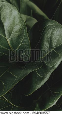 Close up of a Fiddle-leaf fig plant mobile wallpaper