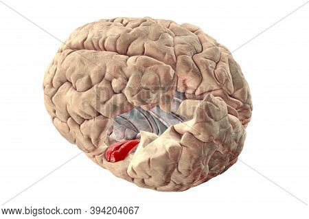 Human Brain With Highlighted In Red Transverse Temporal Gyri, Which Are Part Of Primary Auditory Cor