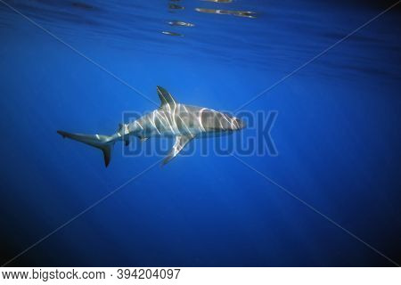The Caribbean Reef Shark (carcharhinus Perezii) Underwater With Sun Drawing. A Reef Shark Atypically