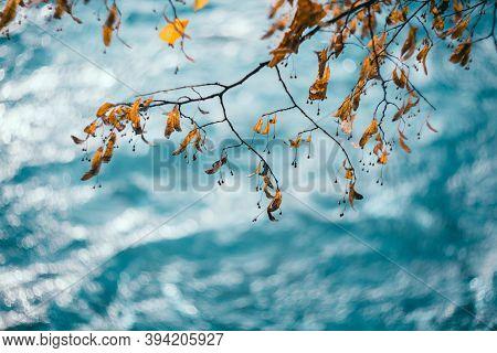 Lime Tree Fruit On Blue Background. Orange Linden Seeds Close-up. Honey Plant, Medicinal Herbs. Beau