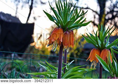 Crown Imperial (fritillaria Imperialis) In Garden,ukraine.