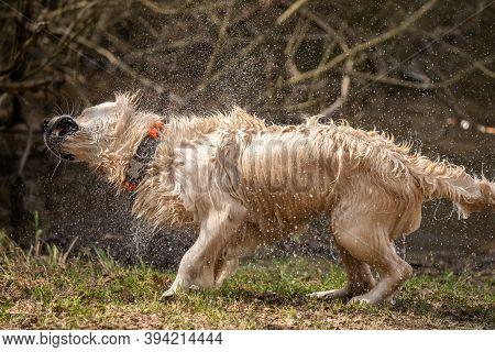 Golden Retriever Shaking Off Water After Bath
