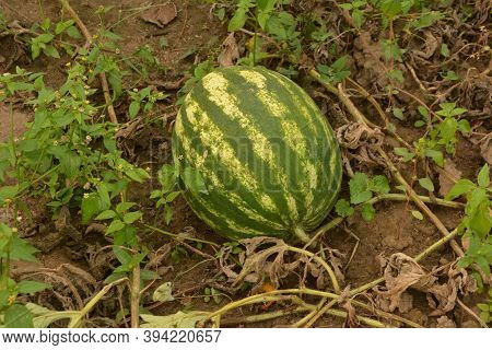 Watermelon On The Field.more Sweet Organic Watermelons On The Bed