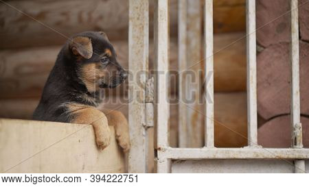 Small East European Shepherd Puppy. East European Shepherd German Shepherd Puppy. Shallow Focus. Cop