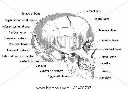 Human Skull structure