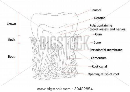 Human Tooth Structure