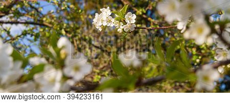 White Cherry Flowers Bloom In Spring On The Tree. Spring Flowers Among Green Leaves.. Spring Bloom.