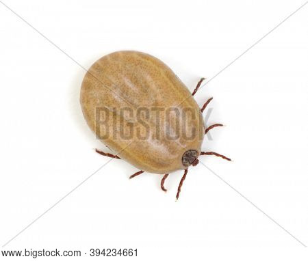 Tick isolated on white background. Mite parasitic. Dangerous insect.