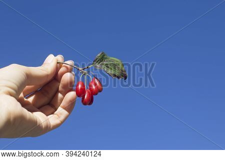 Cornelian Cherry, Cornus Mas Or Dogwood Berries In Hand With Blue Sky.