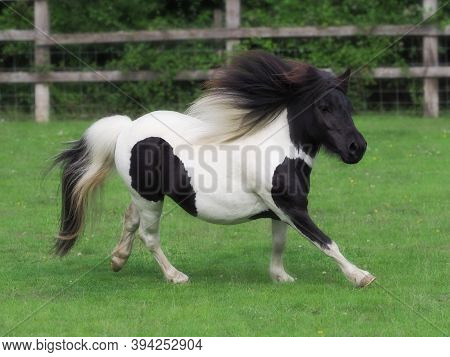 A Cute Shetland Pony Canters At Liberty In A Paddock.