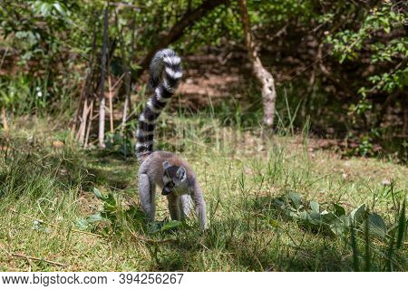 A Funny Ring-tailed Lemur In Its Natural Environment