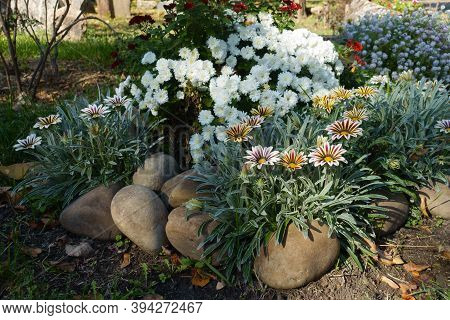Autumn Flowers - Striped Gazanias And White Chrysanthemums In Mid October