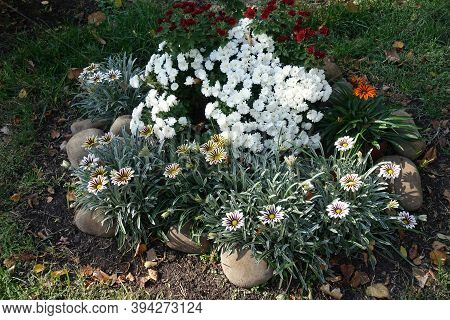 Red And White Chrysanthemums And Striped Gazanias In Mid October