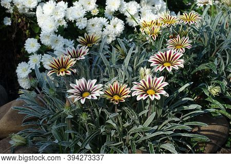 Striped Gazanias And White Chrysanthemums In Mid October