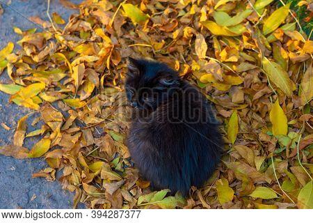 Small Black Street Kitten Sick With Rhinitis, Sitting On Yellow Autumn Leaves. Rhinitis In Cats, Vir