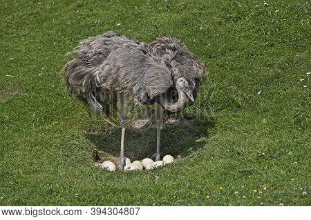 American Rhea, Rhea Americana, Female Standing On Nest, With Eggs