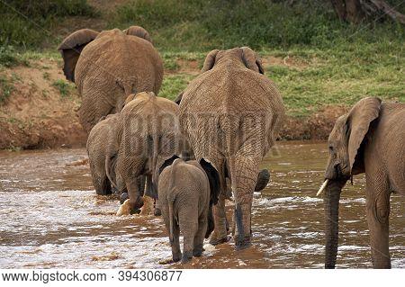 African Elephant, Loxodonta Africana, Herd Crossing River, Samburu Park In Kenya