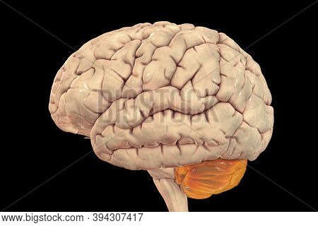 Human Brain With Highlighted Cerebellum, 3d Illustration. It Plays An Important Role In Motor Contro