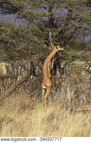 Gerenuk Or Waller's Gazelle, Litocranius Walleri, Male Eating Leaves, Standing On Its Hind Legs, Sam