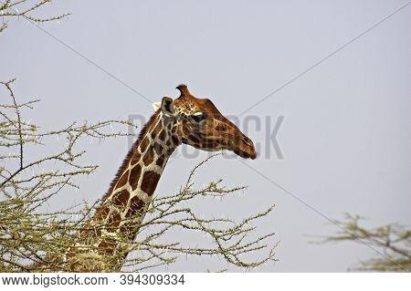 Reticulated Giraffe, Giraffa Camelopardalis Reticulata, Head Of Adult Behind Acacia Tree, Samburu Pa