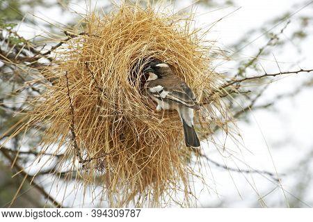 White Browed Sparrow Weaver, Plocepasser Mahali, Adult Standing At Nest Entrance, Masai Mara Park In