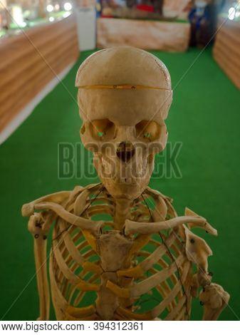 Human Skeleton In The Exhibition Hall Of The Kunstkamera. Exhibition Exhibit