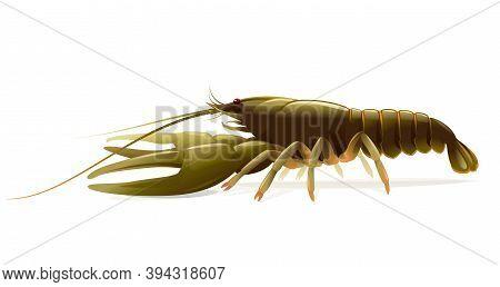 Realistic Narrow-clawed Crayfish Isolated Illustration, One Big Freshwater European Crayfish On Side