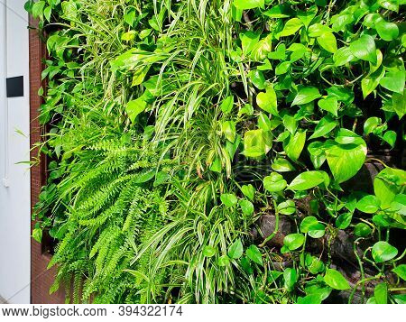 Phytowalls For Vertical Gardening. Planting Of Greenery. Herb Wall, Plant Wall, Natural Green Wal Lp