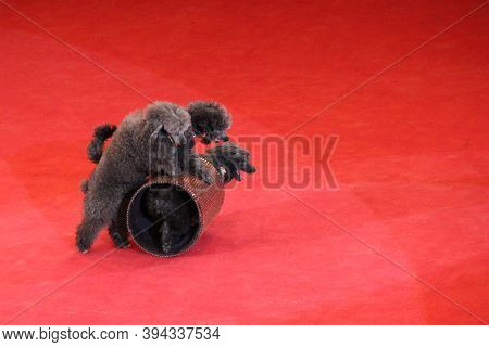 Trained Poodles Performing In Circus Arena. Trained Dogs In Circus. Amusing Dogs. Two Poodles Dance