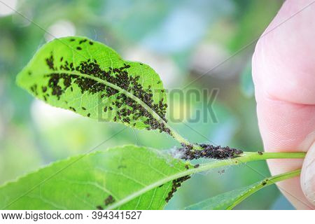 An Aphid Infestation On The Back Of A Cherry Leaf