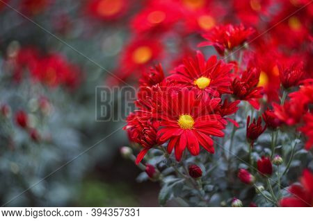 Red Chrysanthemums On A Blurry Background Close-up. Beautiful Bright Chrysanthemums Bloom In Autumn
