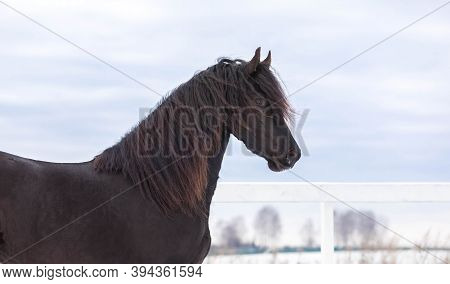 Portrait Of A Young Frisian Horse Against The Winter Landscape On The Farm. Free Stallion Walk