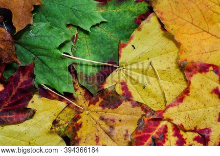 Background from autumn colored leaves