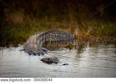 Low Angle Of Alligator Entering Water At Edge Of Marsh