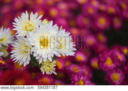 White Chrysanthemums On A Blurry Background Close-up. Beautiful Bright Chrysanthemums Bloom In Autum