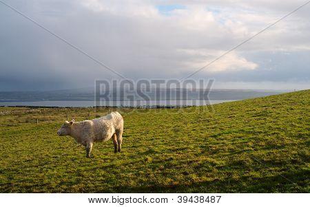 Kuh auf einem Feld. Irland.