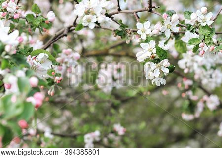 Airy Background, April, Background, Background Flowers, Banner, Beautiful, Beauty, Bloom, Blooming,