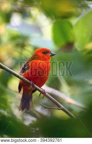 The Red Fody (foudia Madagascariensis) Seated On The Branch With Green Background. A Red Weaver From