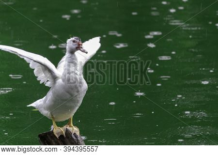 White Duck Flapping Its Wings On Wooden Pole, Green Waters