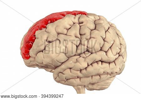 Human Brain With Highlighted Superior Frontal Gyrus, Also Marginal Gyrus, 3d Illustration. It Is Loc