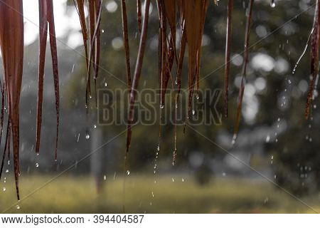 Autumn Tropical Rain In Asia, Raindrops Flow Down From Bamboo Leaves, Blurred Background, Bokeh And